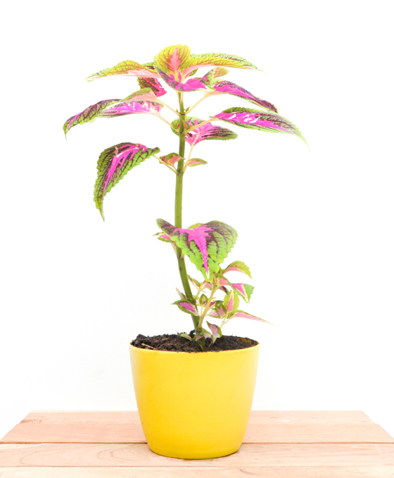 Catalogo tropicalia de plantas tropicalia estudio for Plantas ornamentales croto