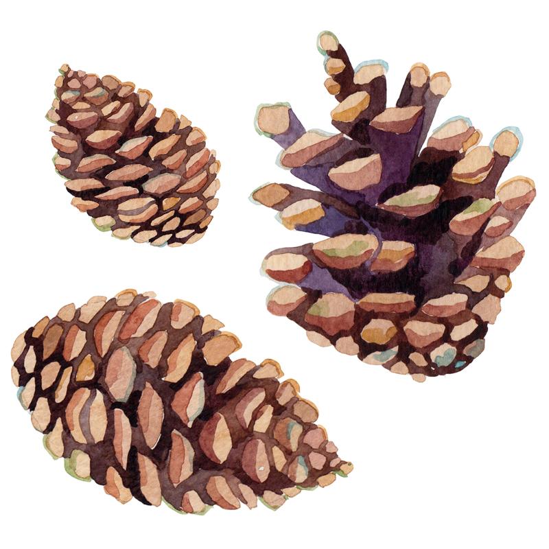 Pine Cone Illustration Little Ones Catalogue ...